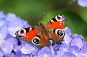 Метелик павине око: особливості та характеристика