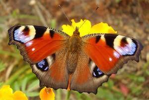 Чим харчується метелик павине око