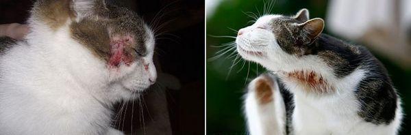 Прояви алергії у кішок