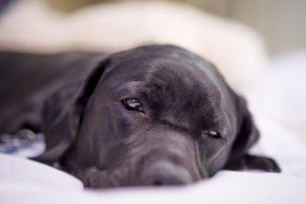 Balanopostitída - diagnostika a liečba citlivej choroby u psov