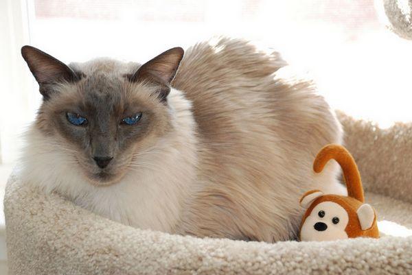 кішка породи балінезіская на фото
