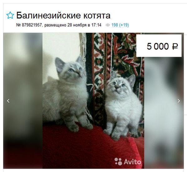 вартість балінезійській кішки