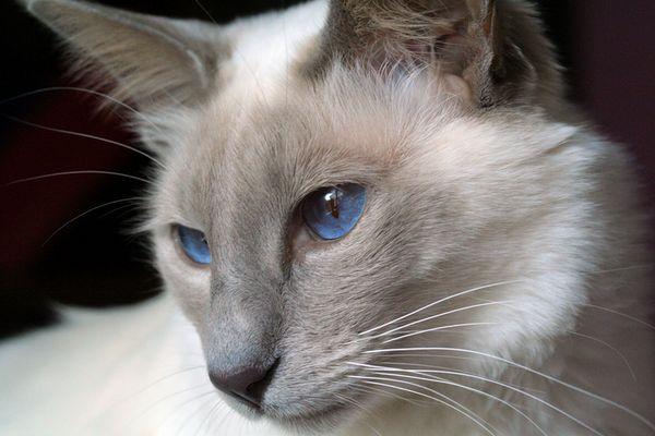 Балінезійська кішка крупним планом