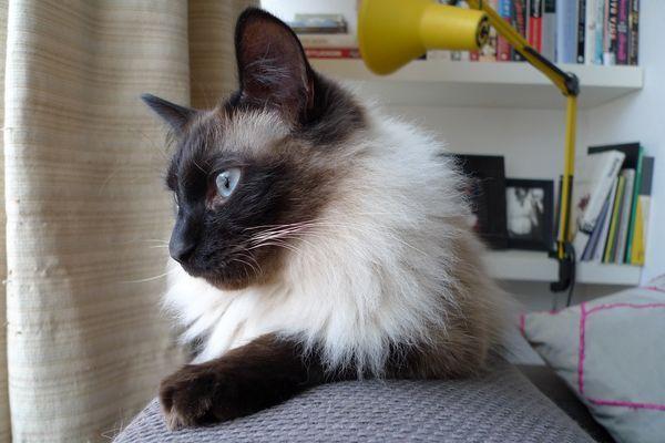 Баліезійская кішка