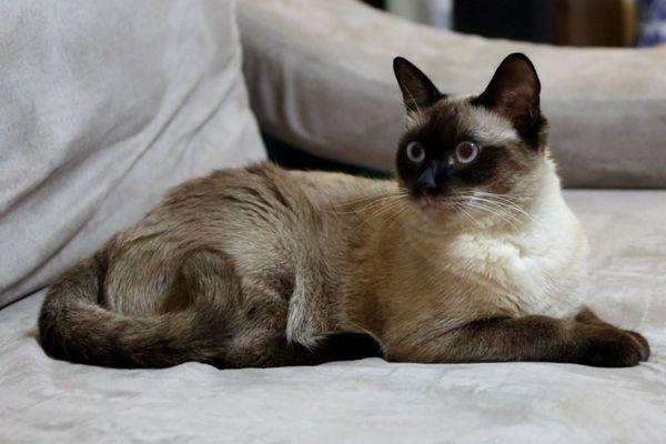 Грайливий балінезійський кіт