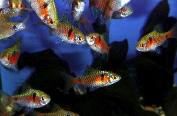 Червоні барбуси в акваріумі