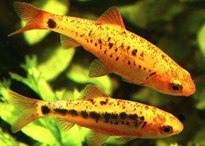 Барбус Шуберта: проживання, опис і спосіб життя акваріумний риби