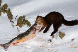 Соболь їсть рибу