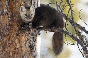 Соболь на дереві