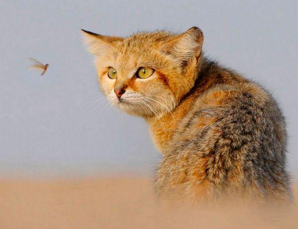 Барханний кіт і комар