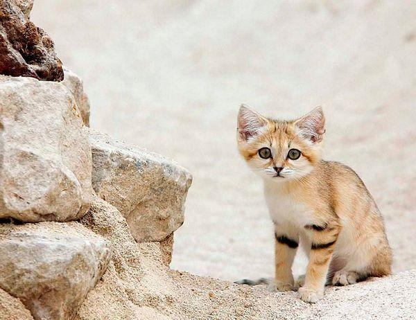 кошеня виду Барханний кіт