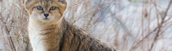 Piesočná mačka (púštna mačka): je možné ju chovať doma?