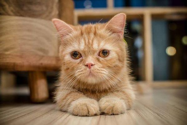 Bartonelóza u mačiek: vlastnosti choroby a liečebné metódy