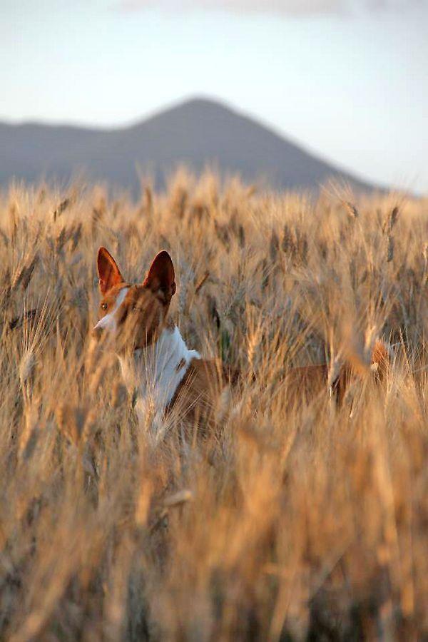 басенджи в поле