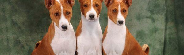 Basenji - pes, ktorý nevie štekať
