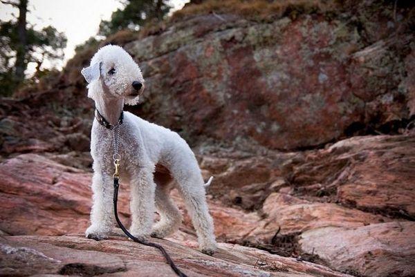 Bedlingtonský teriér (foto): pes v ovčom oblečení