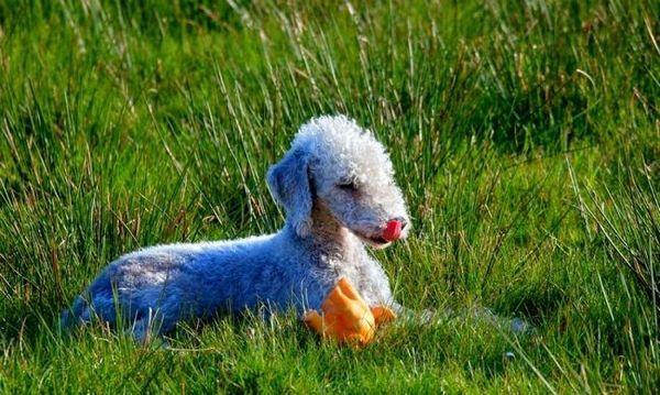 Бажаєте мати здорову собаку, не купуйте цуценя з рук. Знайдіть авторитетний розплідник бедлингтон-тер`єрів, де професійно розводять собак і можна переконатися, що вони вільні від генетичних заболеванійЖелаете мати здорову собаку, не купуйте цуценя з рук. Знайдіть авторитетний розплідник бедлингтон-тер`єрів, де професійно розводять собак і можна переконатися, що вони вільні від генетичних захворювань