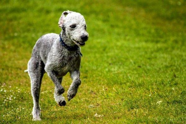 Бедлингтон-тер`єр - витривала порода з помірним рівнем активності. Собака здатна бігати на високих швидкостях, бажано на надійно обгородженої території