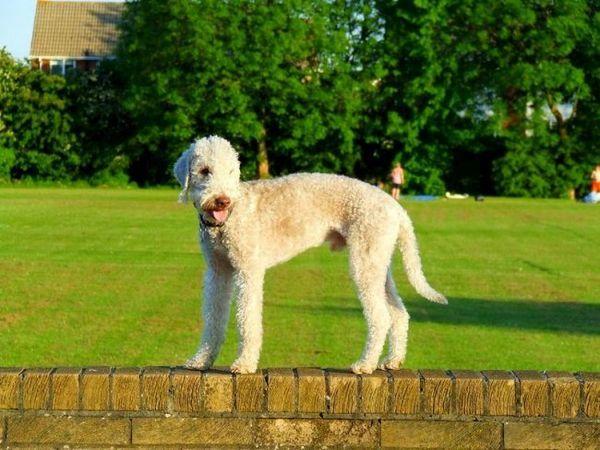 Бедлингтон-тер`єр добре ладнає з іншими собаками. Сам не починає бійку, але не відступить під час нападу. Виглядає пухнастим і добрим, але він не простак і не прийме домінування над собою інший собаки