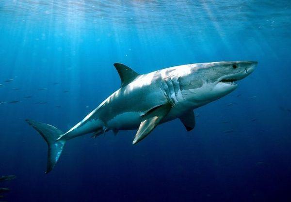 Veľký biely žralok vo vodnom stĺpci