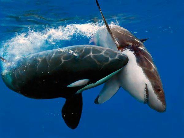 Útok kosatky na veľkého bieleho žraloka