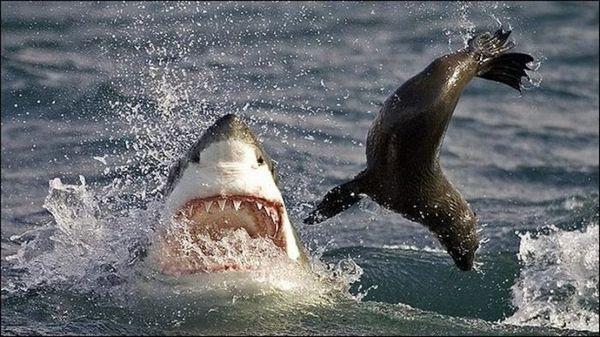 Veľký biely žralok loviaci tuleňa kožušinového