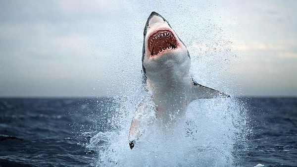 Skákanie Biely žralok