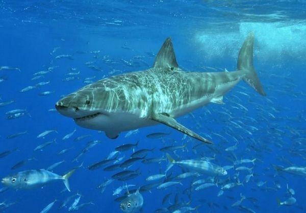Biely žralok v hejne rýb
