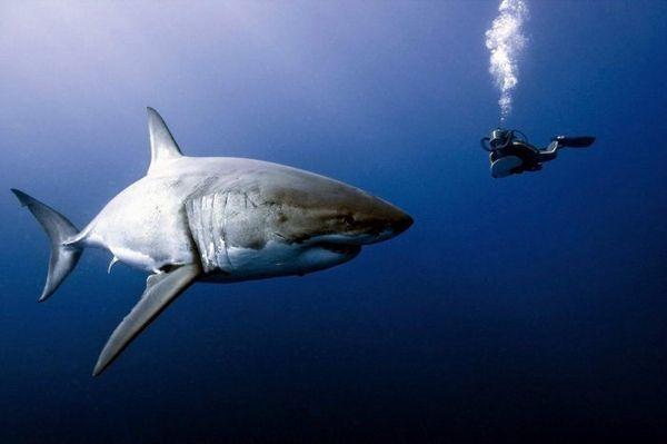 Stretnutie bieleho žraloka s mužom