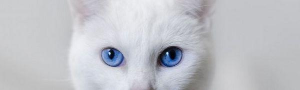 Biela mačka s modrými očami: najobľúbenejšie plemená a vlastnosti domácej starostlivosti