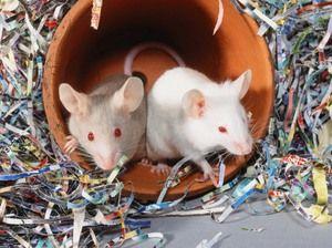 Як містити білу миша