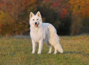 Biely švajčiarsky ovčiak: charakteristika a popis plemena