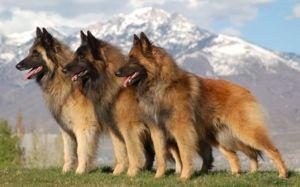 Vlastnosti plemena belgického ovčiaka