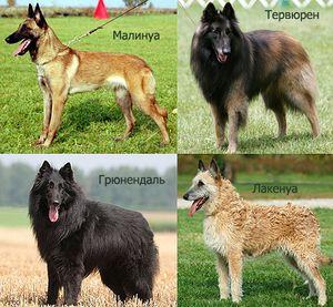 Види Бельгійських вівчарок і їх опис