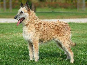 Опис особливостей Бельгійської вівчарки Лакенуа