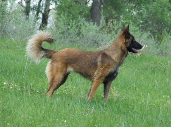 Бельгійська вівчарка малінуа