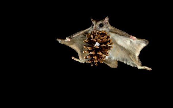 Lietajúca veverička za letu