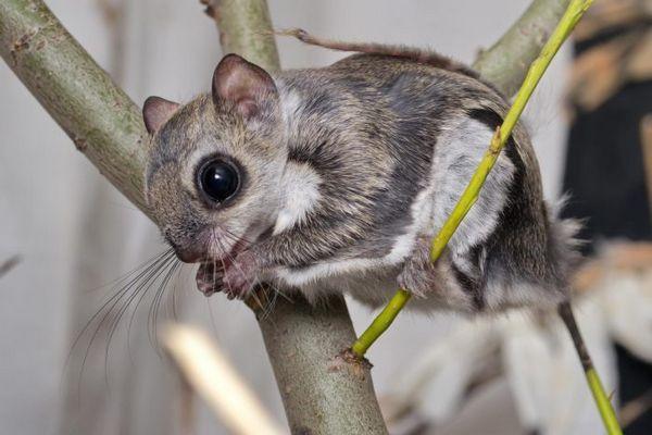Lietajúca veverička vo voliére