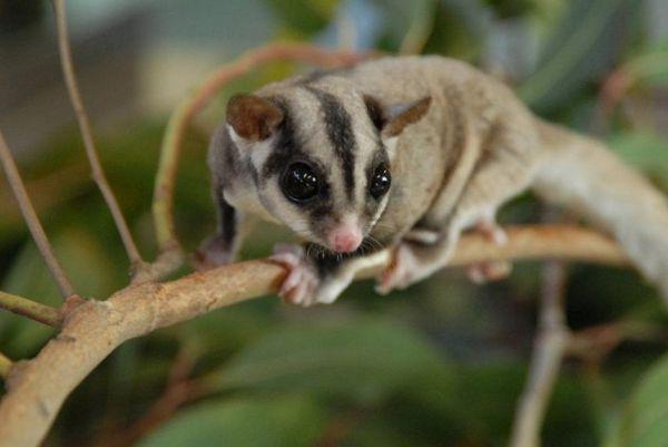 Austrálsky lietajúci veverička