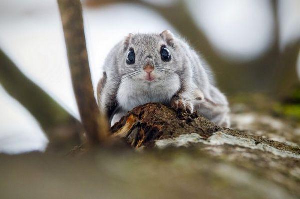 Sibírska lietajúca veverička