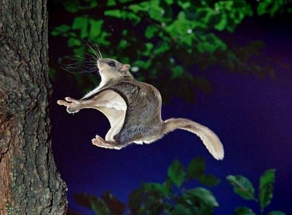 Japonská lietajúca veverička