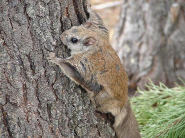 Lietajúca veverička lezúca na strom