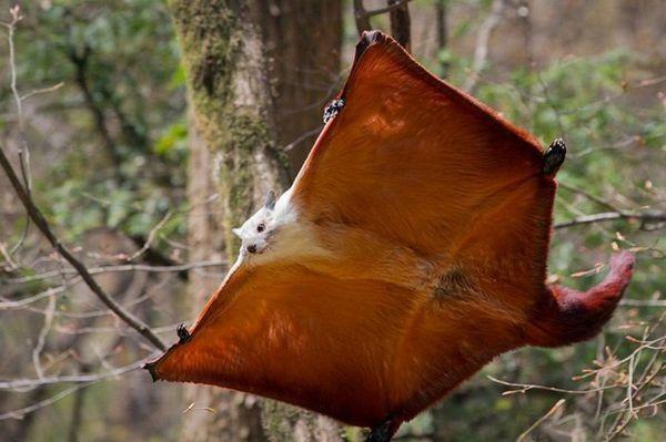 Let lietajúcej veveričky