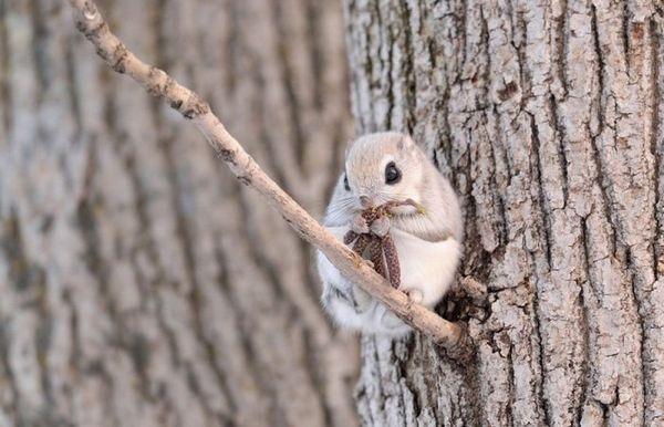 Lietajúca veverička žerie brezové jezice
