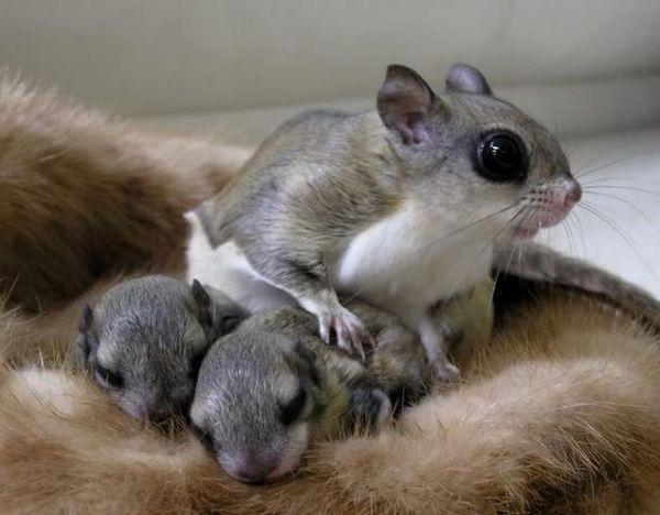 Lietajúce veveričky