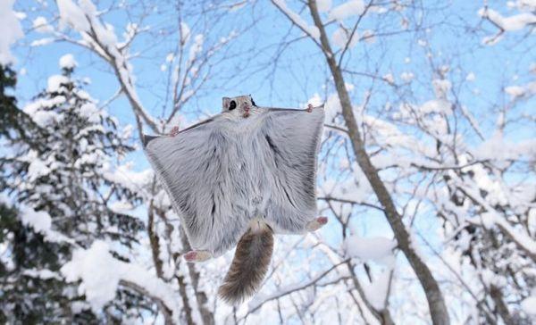 V zime lietajúca veverička