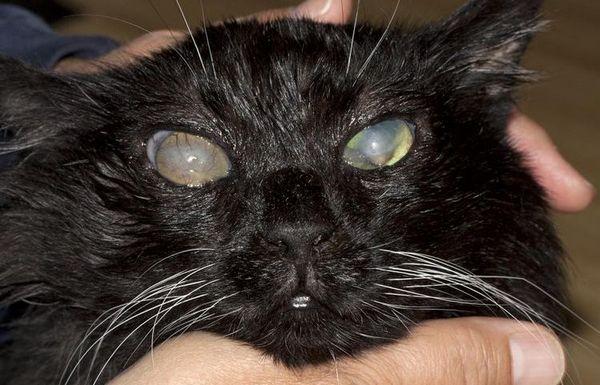 Більмо на оці у кішки