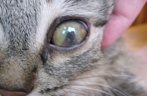 Більмо на оці кота