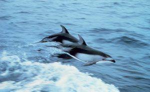 Як живуть дельфіни