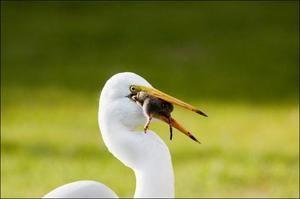 Спосіб життя білого лелеки